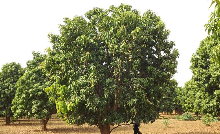 Champ de production de mangues en Afrique de l'Ouest - Omer Decugis