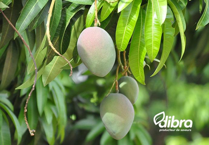Mangue Dibra - Omer Decugis