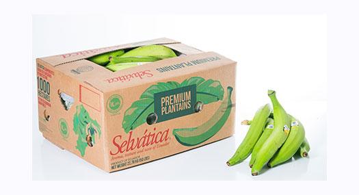 Banane plantain Selvatica - Omer Decugis