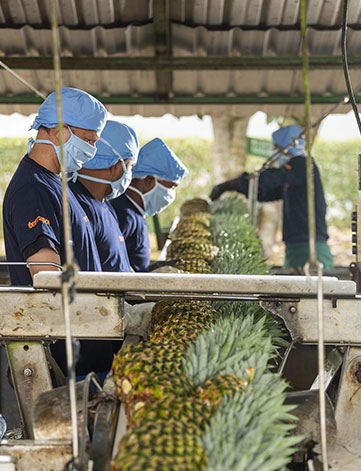 Conditionnement ananas Terrasol en Equateur - Omer Decugis