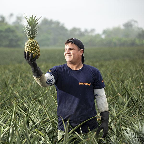 Production ananas Equateur