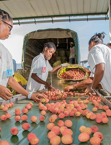 SIIlM - Litchi de Madagascar - Contrôle qualité