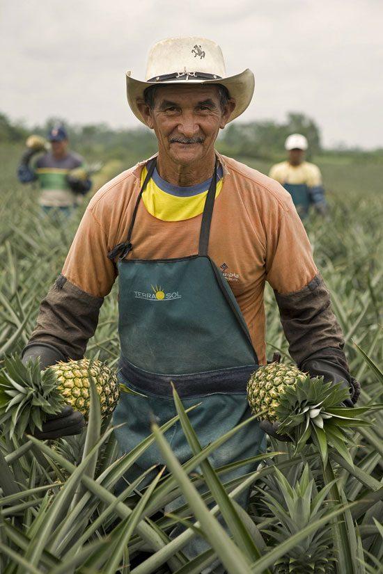 Ananas Terrasol expertise du producteur