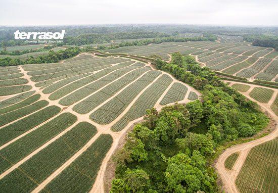 Ananas Terrasol Equateur un terroir d'exception