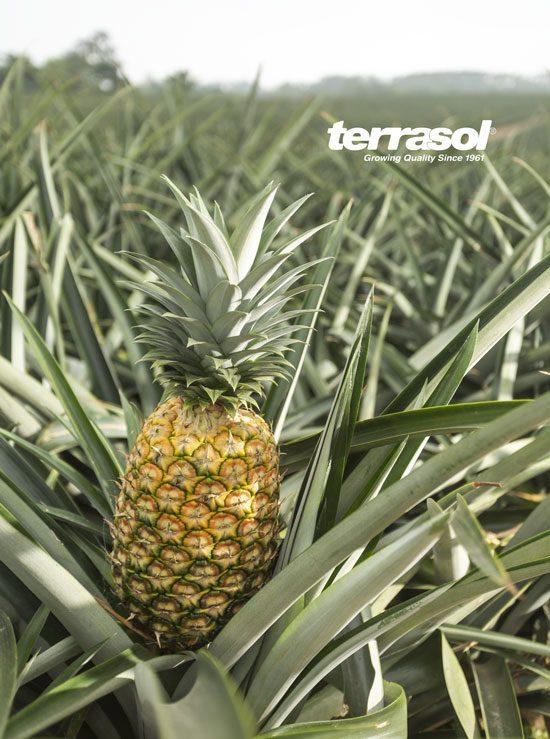Champ ananas Terrasol