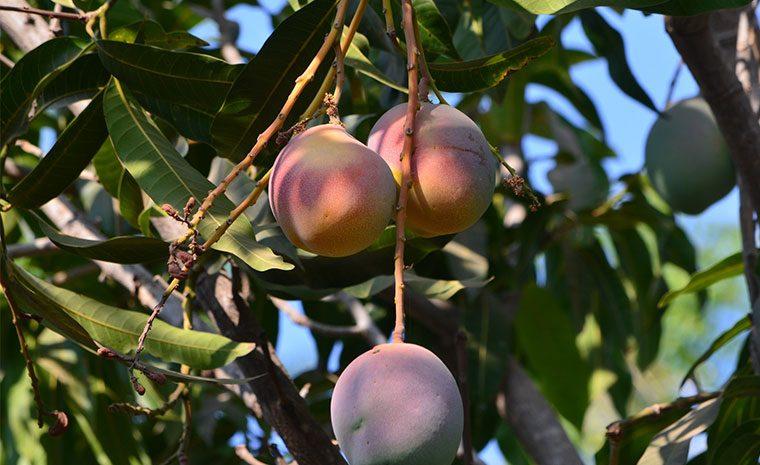 Lancement campagne de mangue 2018
